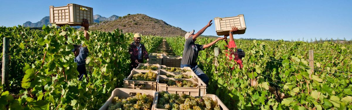 SA wine grape harvest excels despite drought