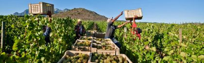 SA wine grape harvest excels despitedrought