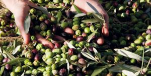 November flavors: the new olive oil by Tenuta di Trecciano